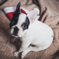 犬のメラノーマ、治療と食事