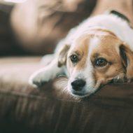 犬の乳腺腫瘍、治療と食事